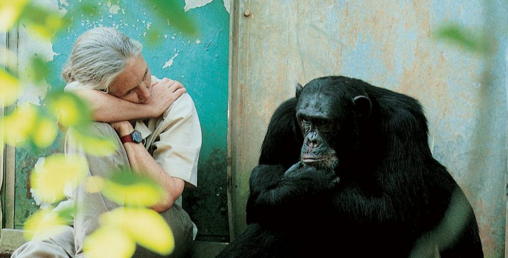 親子好去處 黑猩猩 珍古德的叢林啟迪_黃巴士